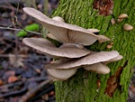 Oyster Mushroom (Pleurotus ostreatus)